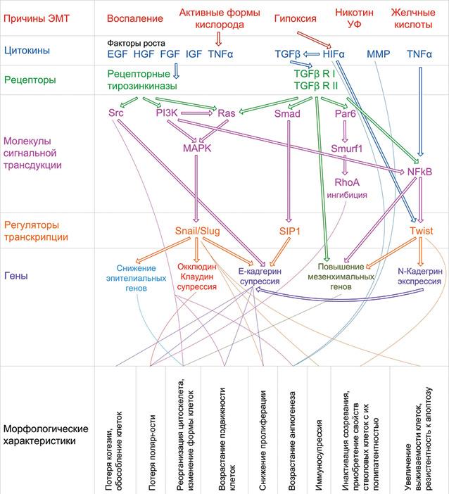 Особенности эпителиально мезенхимальной трансформации в раках различной локализации и гистологического строения