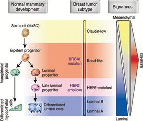 Клинико биологические особенности трижды негативного рака грудной железы