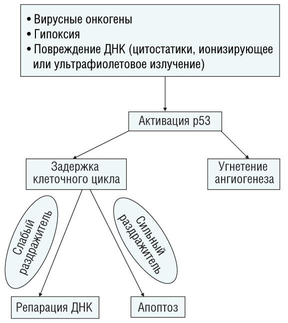 1 Клиническое значение мутаций р53 при раке грудной железы (обзор литературы)